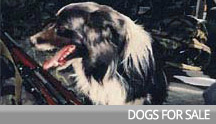 dogs-for-sale
